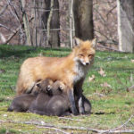 Nursing fox