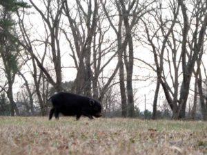 Pig in wild