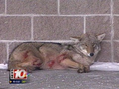 Bloody coyote