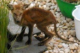 Fox with mange