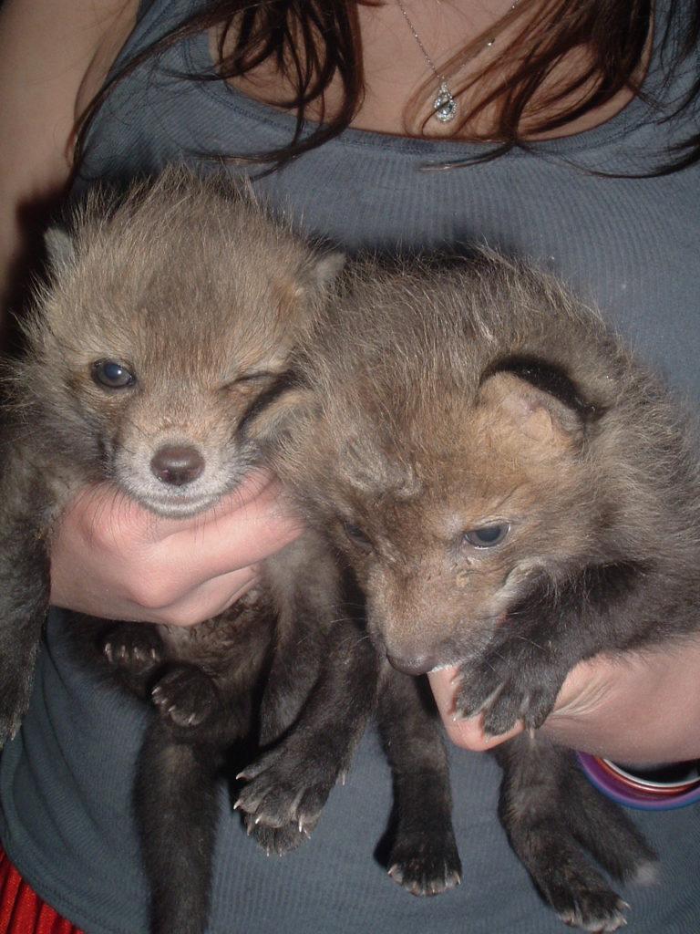 Fox pups